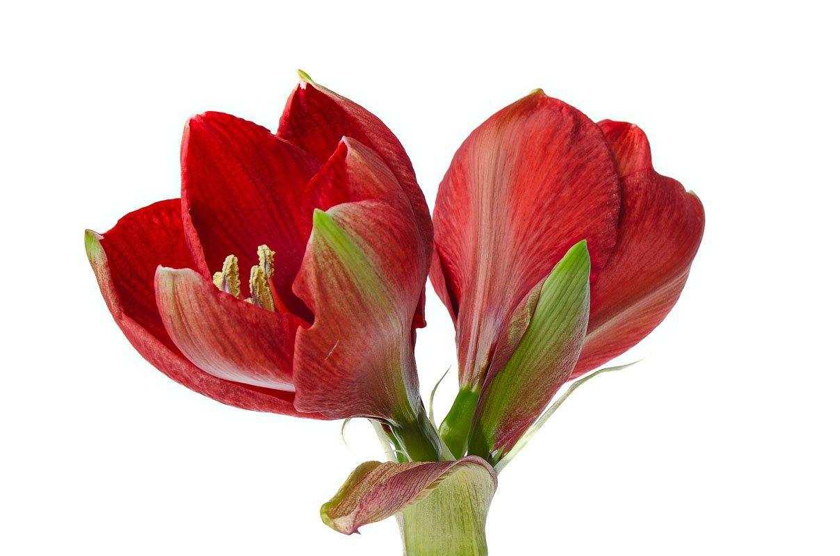 Rode amaryllis