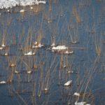 Grassprieten in het ijs