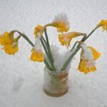 Uitgebloeide narcissen in de sneeuw