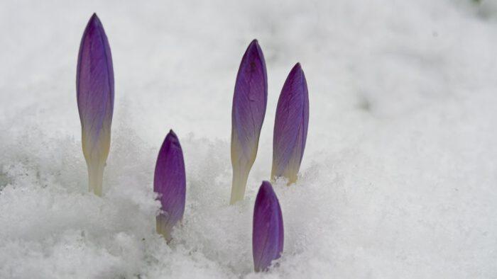 Crocussen in de sneeuw