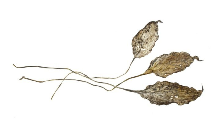 Hosta bladeren in de winter