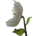 Bloem van Helleborus niger