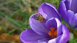 Crocus met bij in de vroege lente