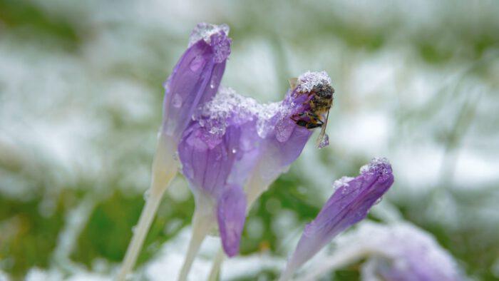 Sneeuw, crocussen en een dode bij.