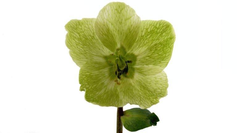 Helleborus niger: uitgebloeide bloem