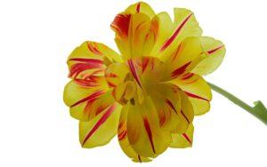 Gele tulp, bijna uitgebloeid