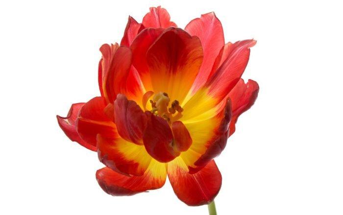 Een geel rode tulp, bijna uitgebloeid