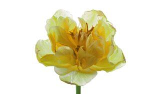 Een gele tulp, bijna uitgebloeid,