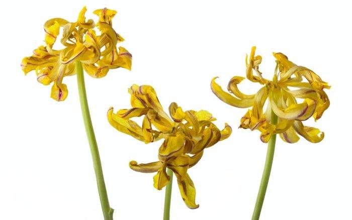 Drie uitgebloeide tulpen
