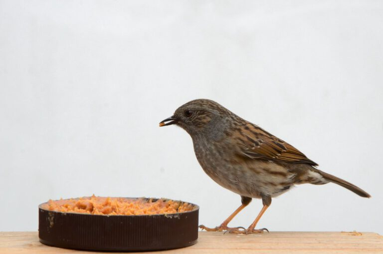 Heggemus in de tuin eet pindakaas