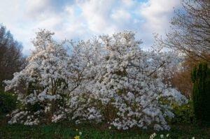 Een magnoliastruik in volle bloei
