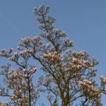 Magnoliaboom tegen een blauwe hemel