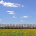 Bomenrij tegen blauwe hemel en weiland met paardenbloemen