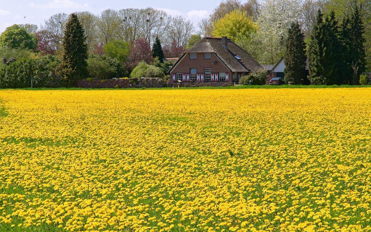 Een weiland geel van de paardenbloemen, net in Cortenoever