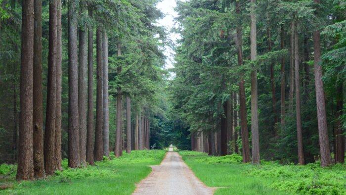Een pad met douglassparren in het paleispark van paleis het Loo