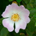 Bloem van hondsroos (Rosa caninia) langs de IJssel