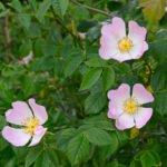 Drie bloemen van de hondsroos (Rosa Canina)