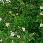 Hondsroos struik met bloemen (Rosa canina)