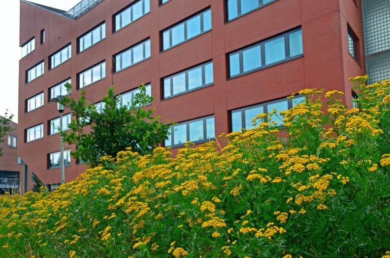 Urban flora: geel boerenwormkruid voor een rood kantoor