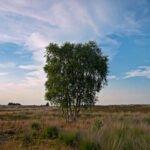 Groepje berken bomen op de heide
