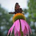Vlinder en bij op een achinacea plant