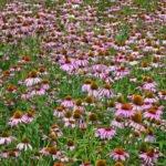 Een veld vol met echinacea om te oogsten in de Vogeltuin te Elbu