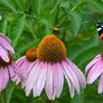 Echinacea met vlinders en bij in de Vogeltuinen bij Elburg
