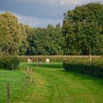 Koeien in de wei op landgoed de Poll