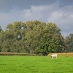 Grazende koeien op landgoed de Poll