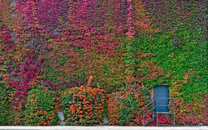 De wingerd (Parthenocissus ) groeit langs een bedrijfspand op he