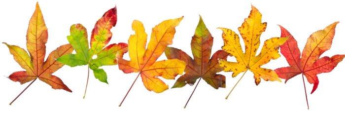 Prachtige herfstbladeren van onze amberboom