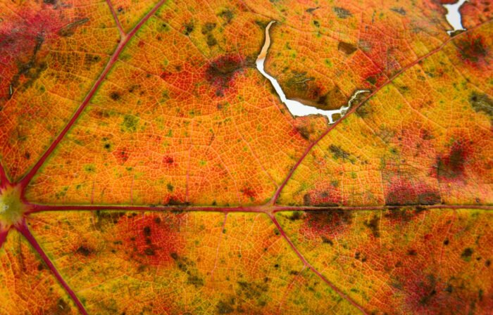 Herfstkleuren van een druivenblad