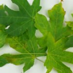 Herfstbladeren van onze liquidambar