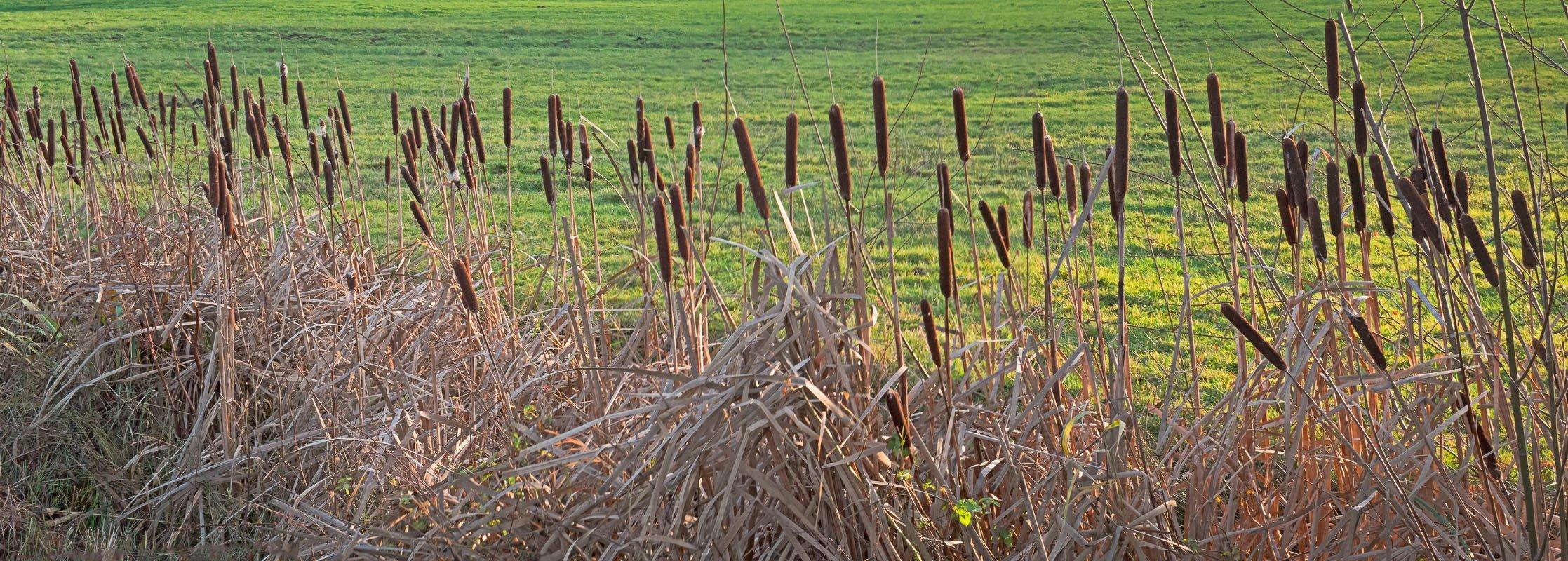 Een rijtje met sigaren planten (grote lisdodde)