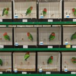 Agapornissen op de vogeltentoonstelling in Apeldoorn