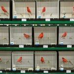 Kooien met rood schimmel kanaries op de vogeltentoonstelling