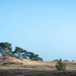 Een rijtje dennen op het Kootwijkerzand.