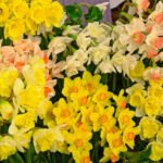 Kleurenpracht van narcissen op de flora in Bovenkarspel