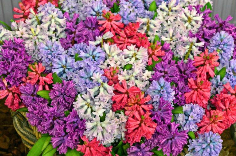 Kleurenpracht van bloeiende hyacinten op flora in Bovenkarspel