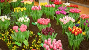 Tulip show in Holland