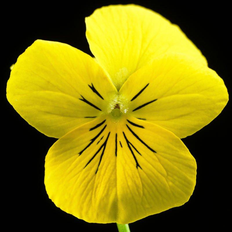 Een macro opname van een geel viooltje