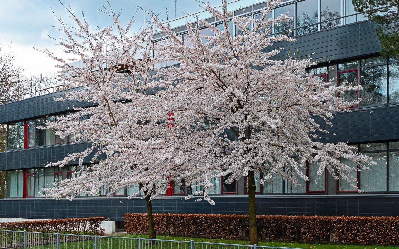 Lentekleuren van bloeiende prunussen voor het voormalige gebouw van de Nederlandse bank
