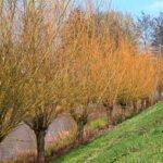 Mooi kleurende taken van de wilgen in de lente