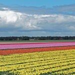 Kleurrijke tulpenvelden in de Noordoostpolder