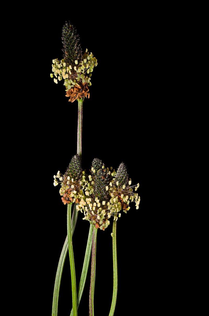 Weegbree bloemen tegen een zwarte achtergrond
