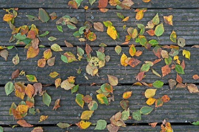 Berkenblaadjes aan het begin van de herfst
