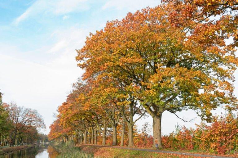 Amerikaanse eiken in herfstkleuren langs het kanaal