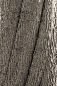 De stam van een amerikaanse eik