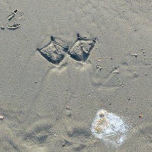 Sporen van een meeuw op het strand