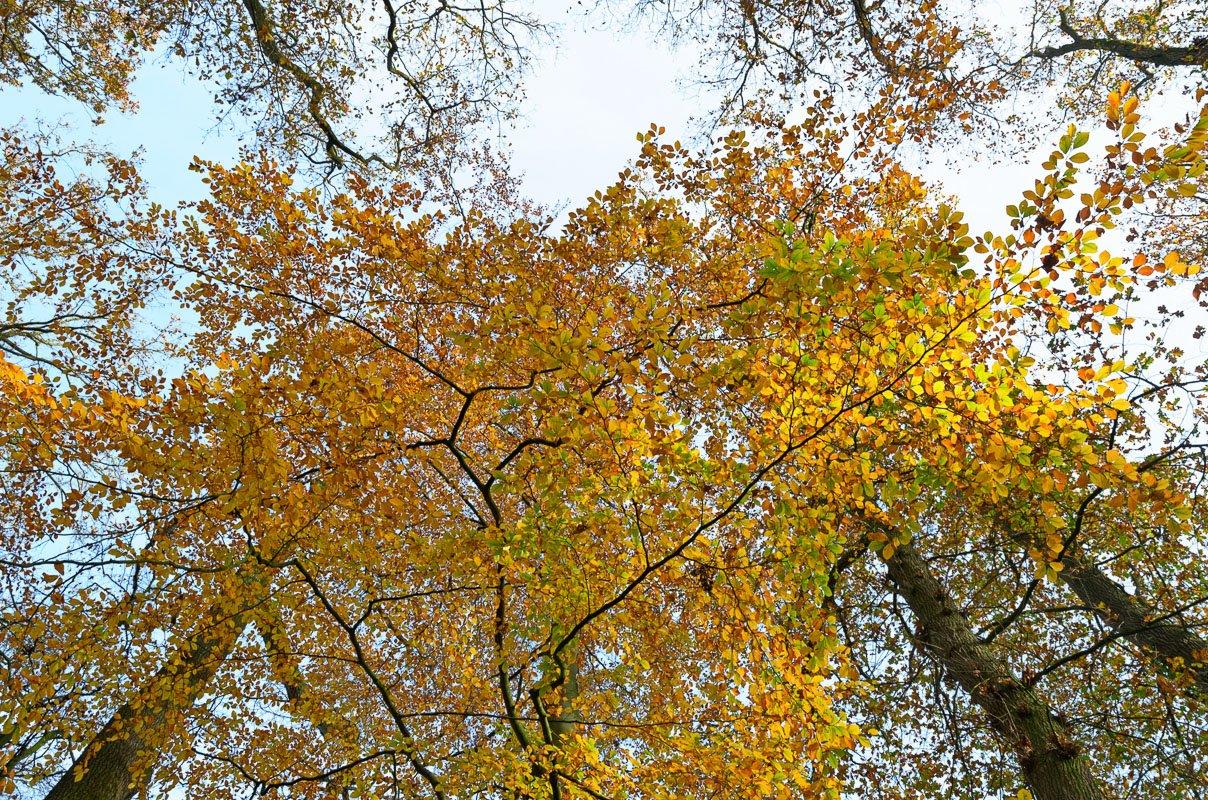 Het einde van de herfst - naar de hemel kijken door de bijna kale beuken